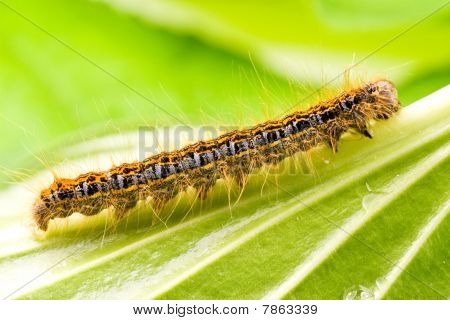 small colorful caterpillar crawling on a green leaf poster
