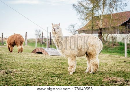 White Alpaca On A Ranch