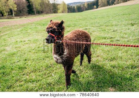 Running Alpaca With Rein