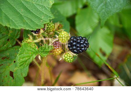 Agrestic Blackberries