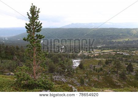 Pinetree. Landscape in National park in Norway.