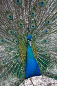 portrait, Indian blue Peafowl with opened feathers poster