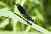 Banded Demoiselle - on a sheet at Sunbathing  - Calopteryx splendens poster