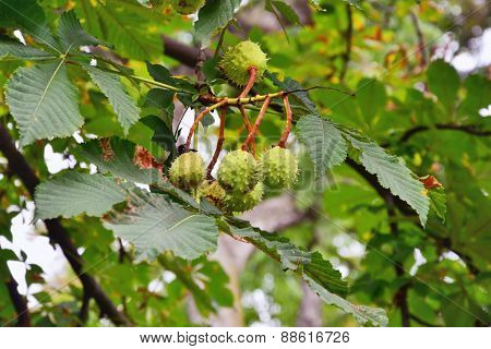 Horse Chestnut Tree Branch  With Conkers.