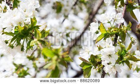 Close up of cherry blossoms in spring, branch of cherry tree with white blossoms.