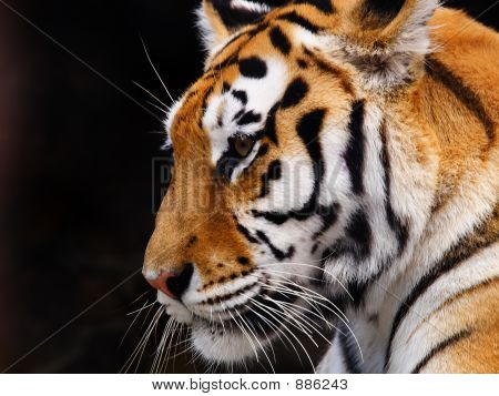 one bengal big tiger on a black background poster