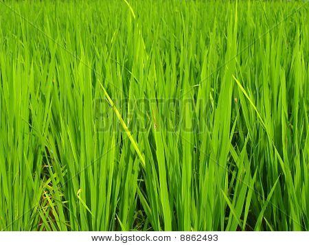 Rice / green paddy rice field