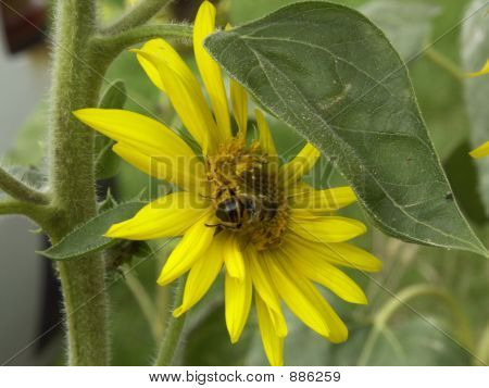 the last sunflower for this year with bee poster