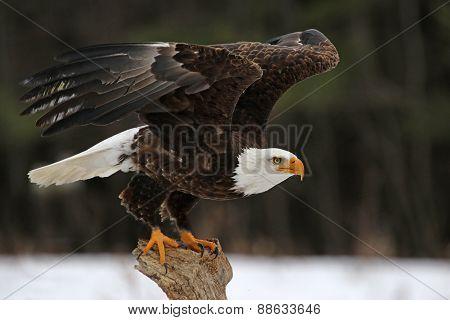 A Bald Eagle (Haliaeetus leucocephalus) taking off. poster