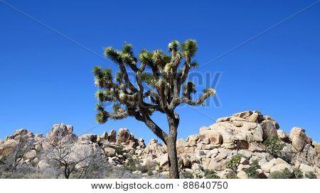Joshua Tree And Rocks Against Blue Sky