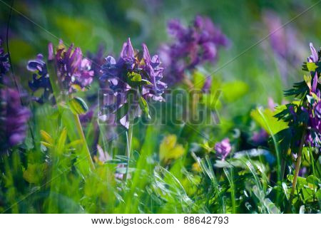 violet flower in Green Summer Grass