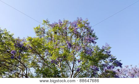 Jacaranda Spring Crown