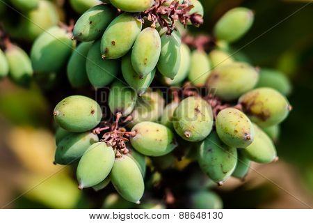 A bouquet of  Broadleaf Mahonia fruit