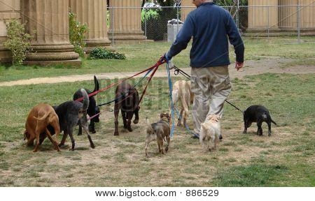 Dogs Walking Man