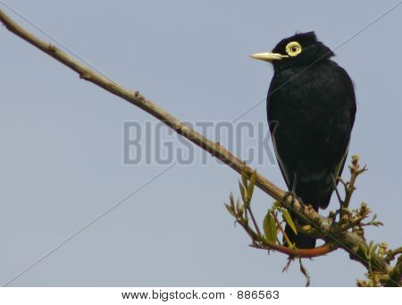 Spectacled Tyrant