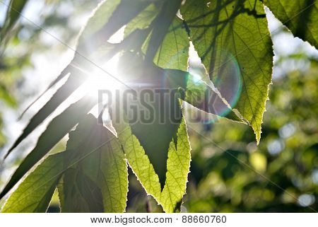 Sunlight From Behind Leaf