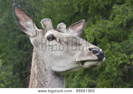 Close Look Of Deer.