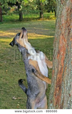 blue eyed catahoula leopard dog staring and climbing up tree after prey poster