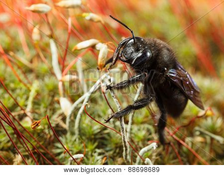 Macro of European carpenter bee (Xylocopa violacea) en face low angle view on moss poster