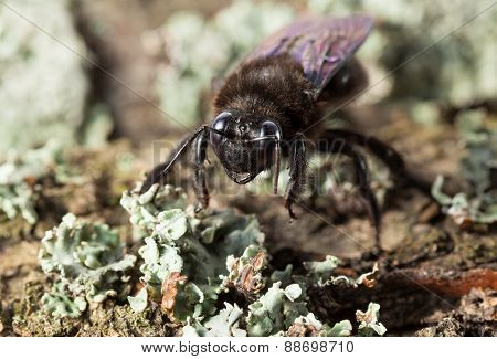 European Carpenter Bee En Face On Old Tree Trunk