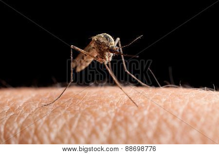 Mosquito (culex Pipiens) Going To Sting