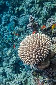 Underwater close up of coral. Red sea coral reef. Surrounded with  sea goldie fishes poster