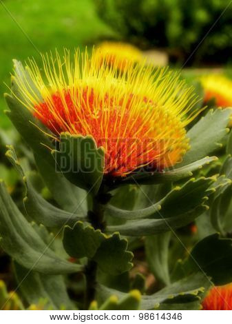Small Pincushion Protea