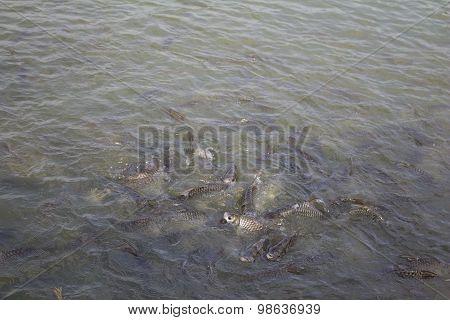 Feeding Fishes