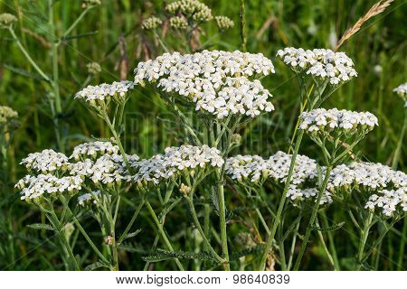 Yarrow Grows On The Meadow