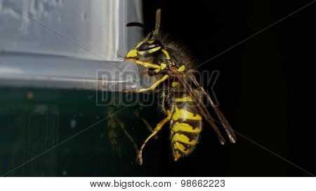 Common European Wasp (vespula Vulgaris) Sitting On An Wasp Trap. Flash Used
