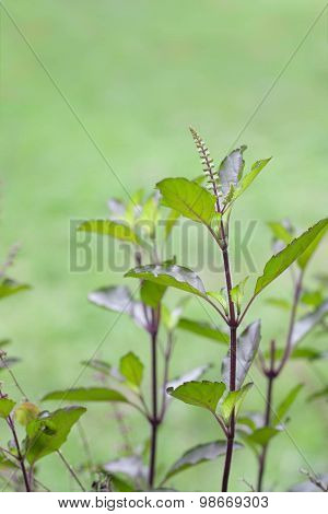 Holy basil or tulsi is an aromatic plant cultivated for religious medicinal purposes cooking and for essential oils . poster