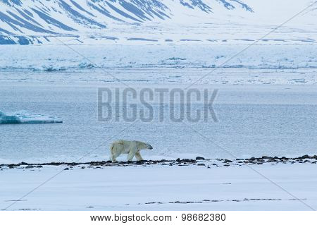 Polar bear. Arctic spring in south Spitsbergen. Around the fjord Hornsund.