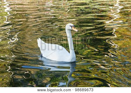 Beautiful Swan.