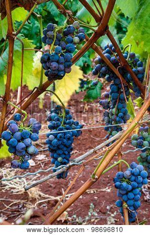 Isabella Grapes Hanging