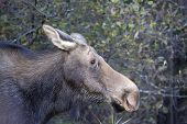 female moose in algonquin park in early autumn poster