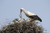 A big white stork in a nest poster