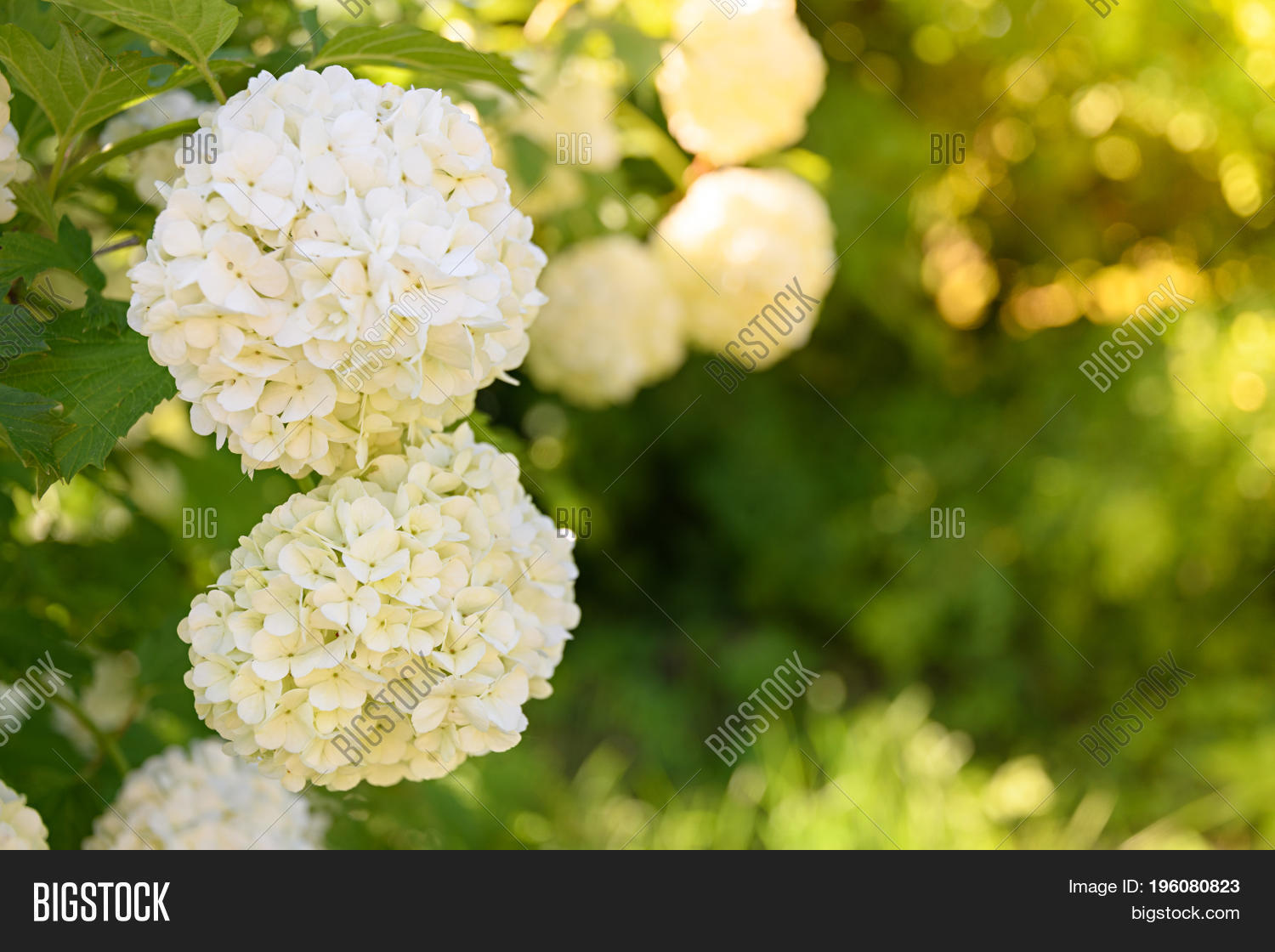 Decorative kalina bush image photo free trial bigstock decorative kalina bush viburnum or buldonezh viburnum with white flowers a lot of buds mightylinksfo