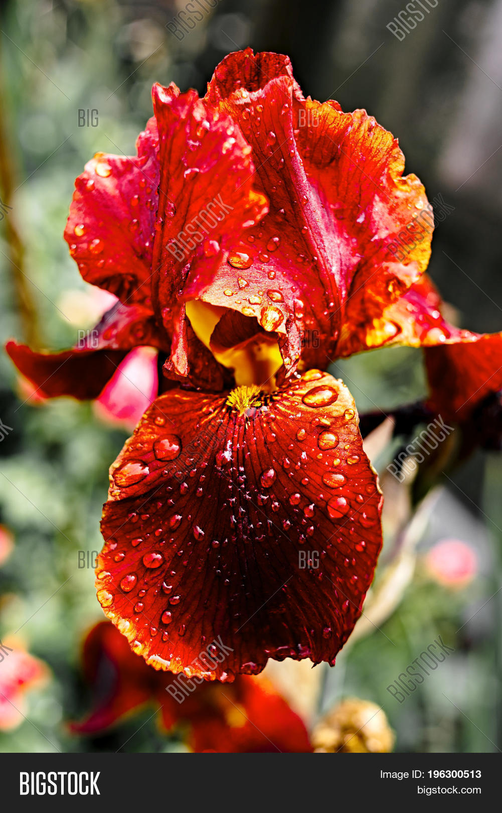 Bright Red Iris Flower Image Photo Free Trial Bigstock