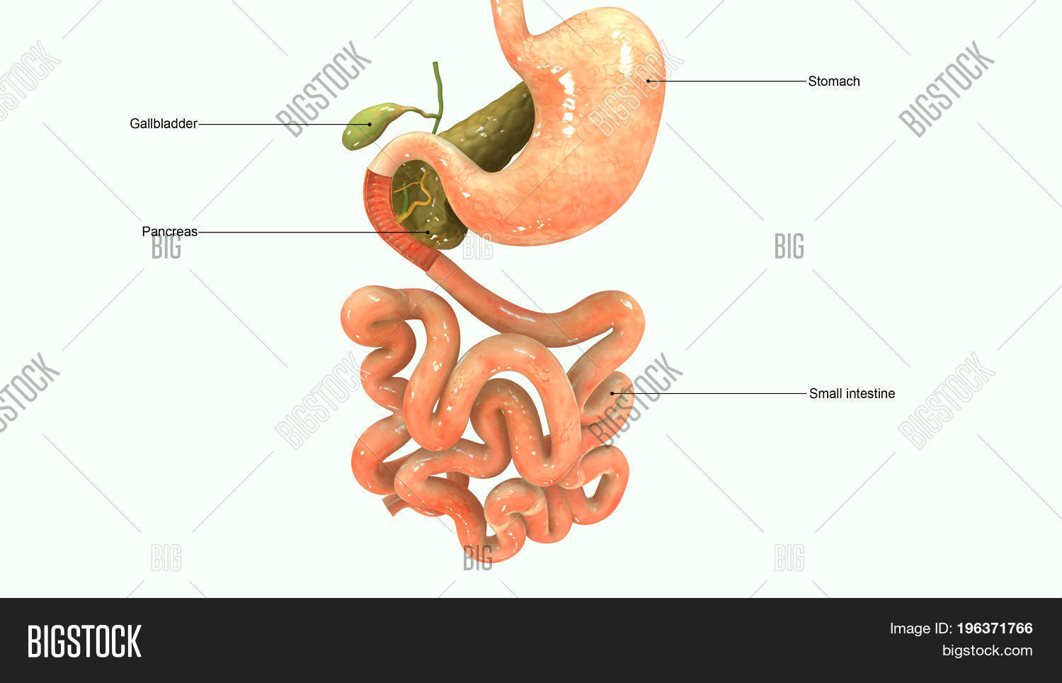 Pancreas Secretes Image Photo Free Trial Bigstock