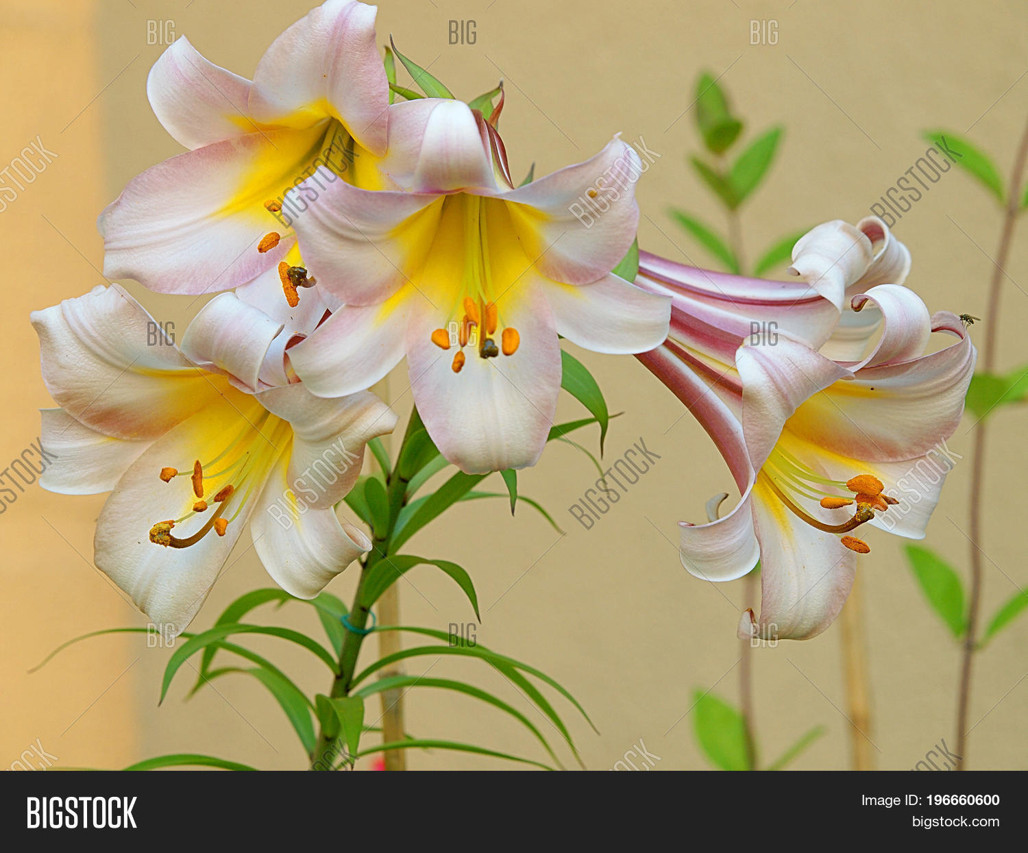 Lily flowers lodz image photo free trial bigstock lily flowers lodz poland july 24 2017 white and yellow lilies blooming izmirmasajfo