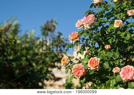 The bush of a garden climbing rose