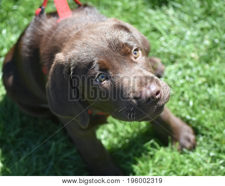 Really adorable face of a chocolate lab puppy dog.