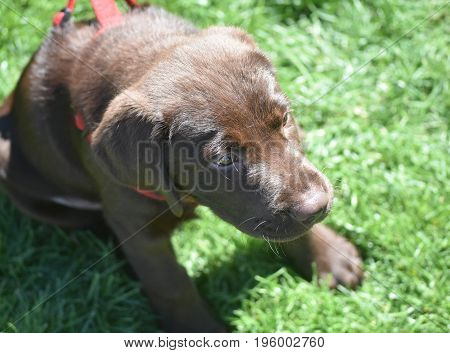 Adorable cute brown lab puppy dog sitting.