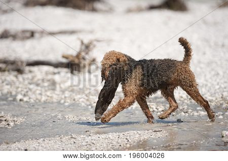 Airedale Terrier is carrying big wood from a water. He is walking in river. It is beautiful sunny day.