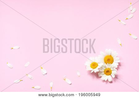 Framing of delicate camomile flowers and petals on a pink background. Place for the text. The concept of femininity romantic holidays congratulations etc.