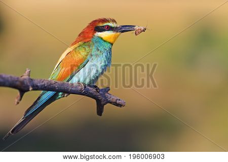 bird that hunts insects and bees, Wildlife, animals