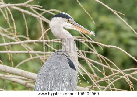 Grey heron (Ardea cinerea) with feather in beak. Large bird in the family Ardeidae after preening in profile