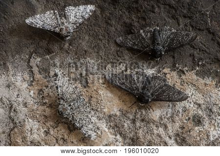 Peppered moth (Biston betularia) melanic and light form. Moths in the family Geometridae showing relative camouflage of f. cabonaria the result of industrial melanism