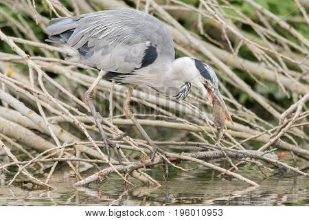 Grey heron (Ardea cinerea) with fish in beak. Large bird in the family Ardeidae with perch (Perca fluviatilis) prey