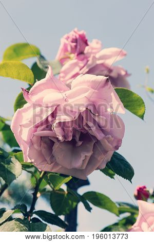 Wonderful Vintage Blossom Of Pink Rose Closeup. Beautiful Vintage Roses In The Garden.
